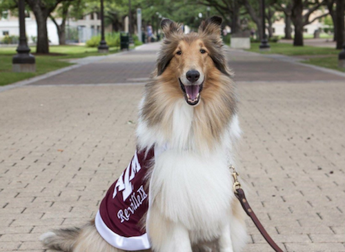 mascot,Reveille, collie,the Dog Walk,Aggies,Texas A&M