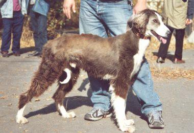 Taigan,Kyrgyz Sighthound