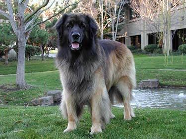 Google, Leonberger,Golden Retriever, Poodle, Pembroke Welsh Corgi, French Bulldog, Australian Shepherd, Beagle,Australian Cattle Dog,Shiba Inu,Border Collie