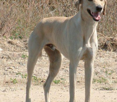 Africanis,sighthound, landrace