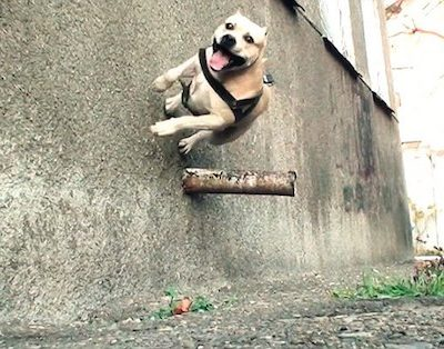Staffordshire Bull Terrier,parkour,TreT,