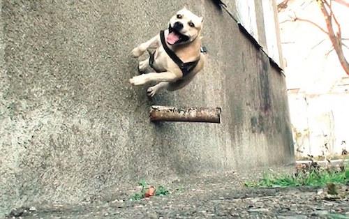 Staffordshire Bull Terrier,parkour,TreT,