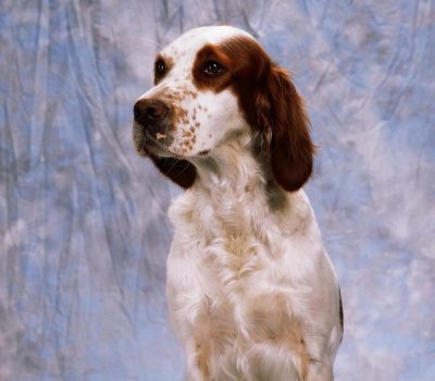 Irish Red and White Setter, Bloom,color,coat,standard