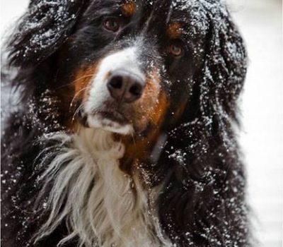 Bernese Mountain Dog,Glen Shadow,Garden & Gun magazine
