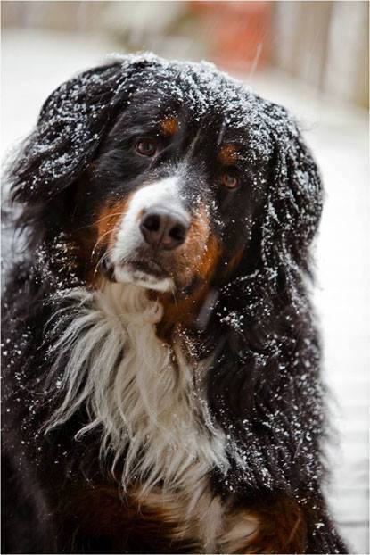 Bernese Mountain Dog,Glen Shadow,Garden & Gun magazine