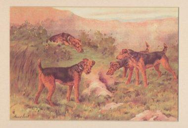 terrier,otter,Sealyham Terrier,Airedale Terrier,Smooth Fox Terrier,Alys Serrell,Jocelyn Lucas,hunting dog,Joseph B. Thomas