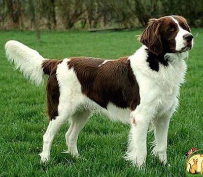 Drentse Partridge Dog,Drentsche Patrijshond