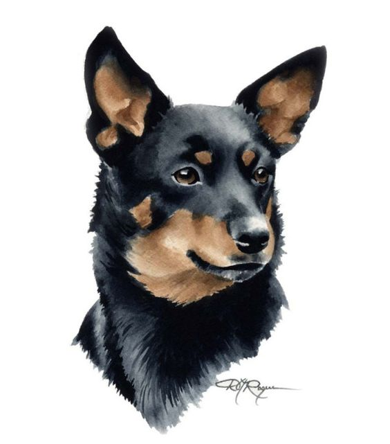 Lancashire Heeler,Ormskirk Terrier,Ormskirk heeler, Manchester Terrier,Corgi