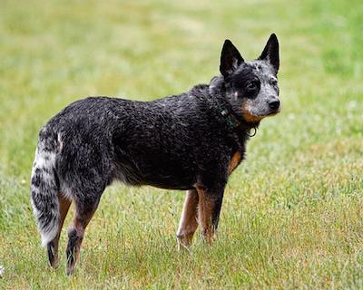 Australian Cattle dog,color,marking