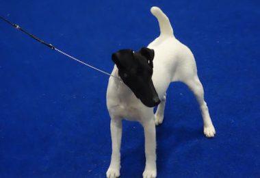 Fox Terrier,coat,varieties,Kennel Club,AKC,Specialty Club