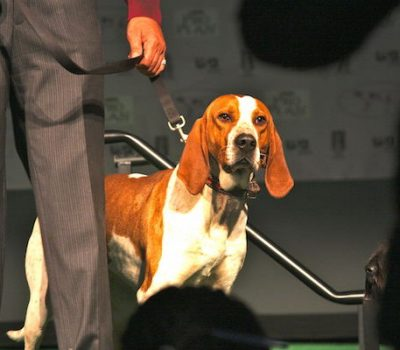 American English Coonhound,English Fox and Coonhound