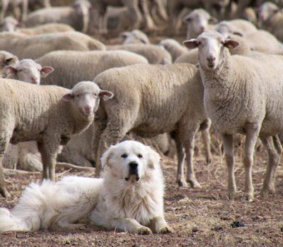 Great Pyrenees, LGD,Livestock Guardian Dog,nocturnal