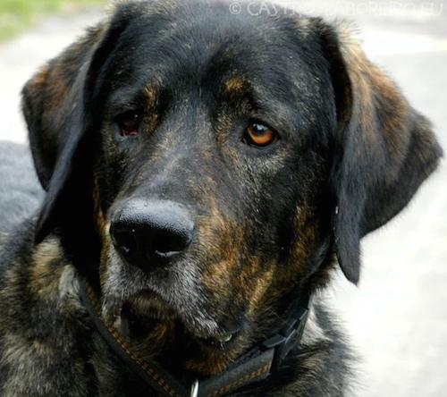 Portuguese Cattle Dog,Cao De Castro Laboreiro,bark, LGD,Livestock Guardian Dog