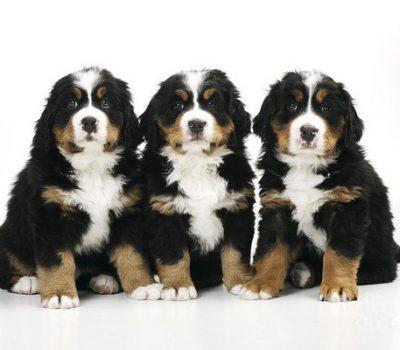 Sennenhund,Bernese Mountain Dog,Greater Swiss Mountain Dog,Appenzeller,Entlebucher