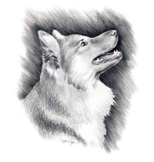 Icelandic Sheepdog,Iceland Spitz, Iceland Dog, Friaar Dog, Íslenskur fjárhundur, Islandsk Farehond,Shakespeare,