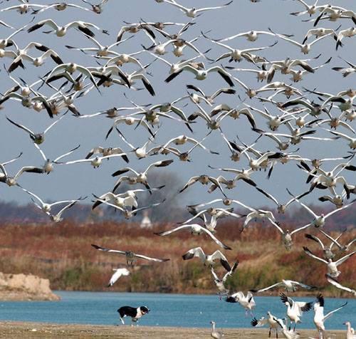Border Collie,geese,Flyaway Geese