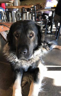 Sarplaninac, Yugoslavian Shepherd Dog, LGD, livestock guardian breed,