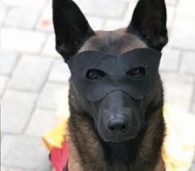 Jester,Belgian Malinois,Police Dog,K-9