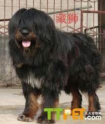 Apso,Lhasa Apso,Tibetan Mastiff,,Tibetan Kyi Apso,Tibetan Bearded Dog.