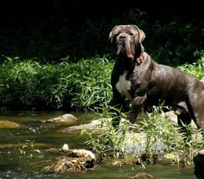 standards, mastiff, cane corso, Neapolitan Mastiff, Fila Brasileiro, Dogue de Bordeaux