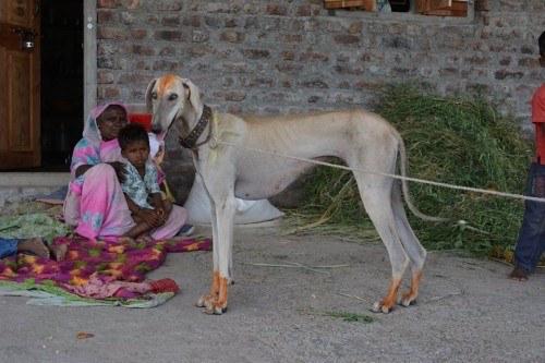 Caravan Hound, Afghan Hounds, Salukis, Tazis/Tazys, Xigous,Rampur,Mudhol Hound,India,
