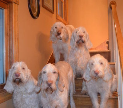 Spinone Italiano,gun dog,Italian Coarse-haired Pointer, Italian Griffon,