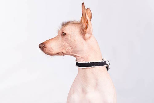 Peruvian Inca Orchid Dog,color,Perro sin Pelo del Peru, the Inca Hairless Dog, Peruvian Hairless Dog,Perros Floras.