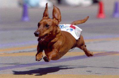 Dachshund,dog race, movies,film,Wiener Dog Nationals.