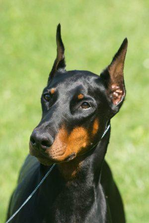 Doberman Pinscher,Tabitha,Not Just Another Pretty Face,bomb detection dog