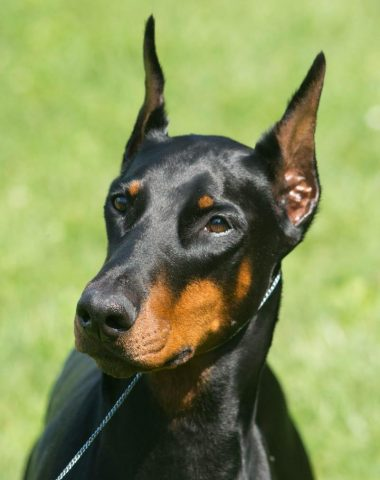 Doberman Pinscher,Tabitha,Not Just Another Pretty Face,bomb detection dog