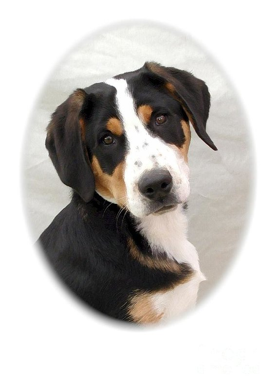 Greater Swiss Mountain Dog,history,