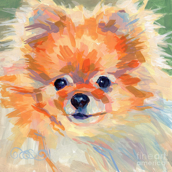 Pomeranian,head,structure,wedge