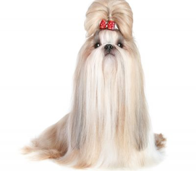 top knot,poodle,shih tzu,hair,