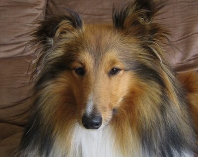 Head breed, head, Sheltie,Shetland Sheepdog,standard,wedge