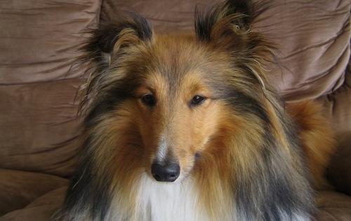 Head breed, head, Sheltie,Shetland Sheepdog,standard,wedge