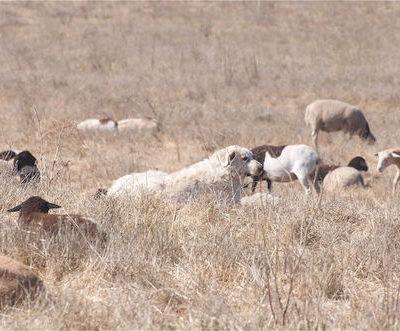 color,Livestock Guardian Dog, Akbash Dog, Tibetan Mastiff