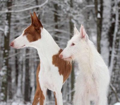 Ibizan Hound, coat, genetics