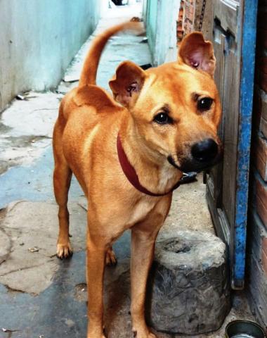 Phu Quoc Dog,Funan Ridgeback Dog,