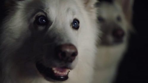 Berger Blanc Suisse, Swiss White Shepherd,German Shepherd Dog,Horand,commerical,advertising,Range Rover,