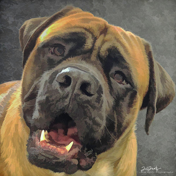 How to Tell if You're Ready For a Mastiff