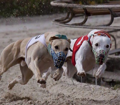 Whippet,Greyhound,racing,muzzle,