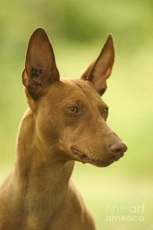 Cirneco dell'Etna,Cirneco, Sicilian Hound, Sicilian Greyhound, Sicilian Rabbit Hound, Sicilian Rabbit Dog