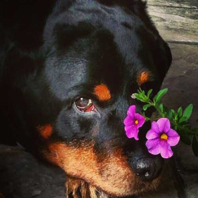 A Snippet Of Rottweiler History