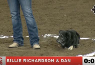 herding,Australian Shepherd,stock dog,Calgary Stampede