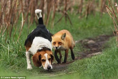 Beagle,fox,fox hunting,