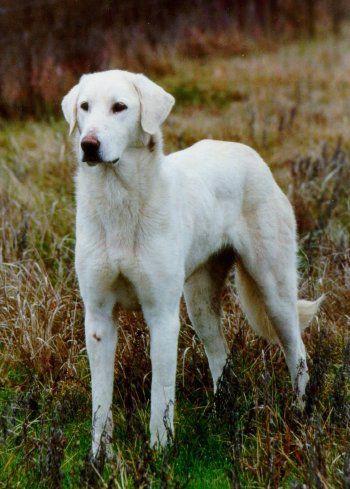 Akbash Dog, LGD, Livestock Guardian Dog,