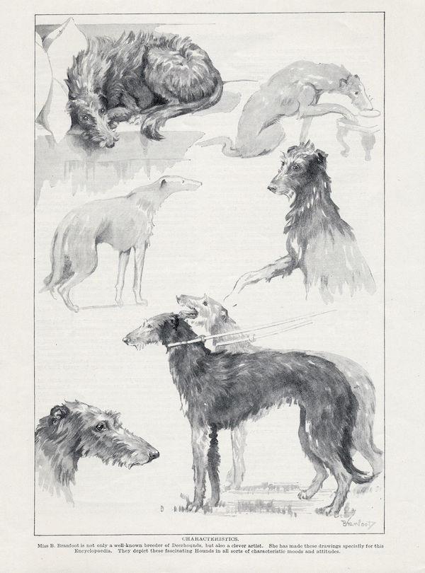 Scottish Deerhound,Pict,war,history,Crathinluth