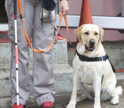 Labrador Retriever, hero dog, Seeing Eye Dog