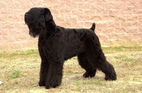 Black Russian Terrier,Tchiorny Terrier,Sobaka Stalina,Chornyi, Russian Bear Schnauzer, Terrier Noir Russe, Black Pearl of Russia, Blackies,Red Star kennel