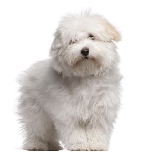 Coton de Tulear, Royal Dog of Madagascar, Malagasy Royal Dog,